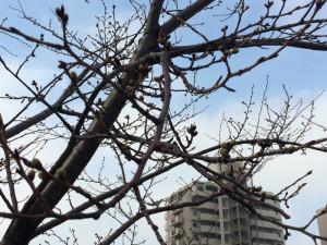 桜-2015/03/19