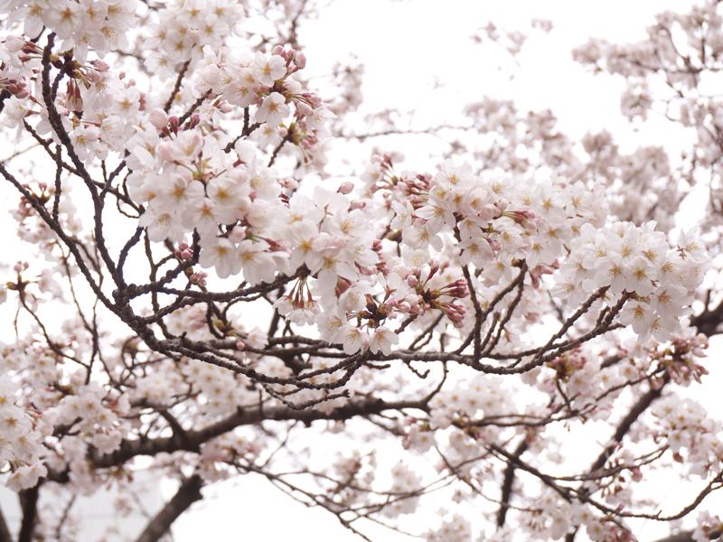 ゲートシティ前の桜